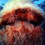 Атлантическая медуза Цианея